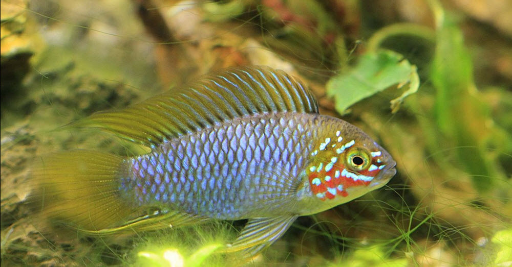 apistogramma borellii - Picture by Dornenwolf https://www.flickr.com/photos/gartenfreuden/